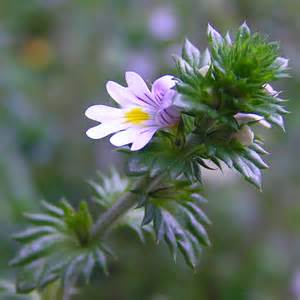 Eyebright herbal remedy picture 5