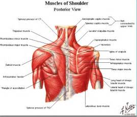 losing muscle between your shoulder joints picture 3