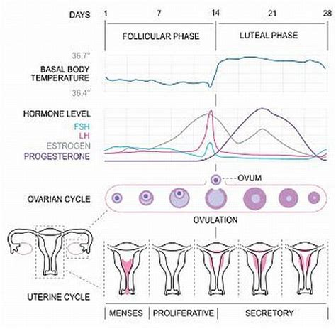 herbal cleanse changed painful ovulation picture 10