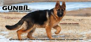 bloggers about gunbil german shepherds picture 7