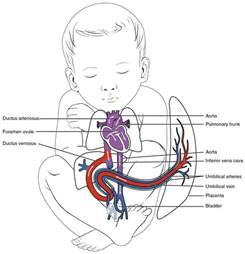fetal blood and circulation picture 17