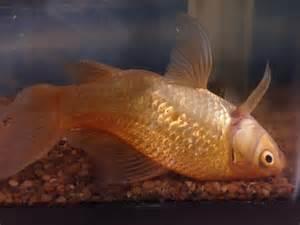 betta with swim bladder disease picture 1