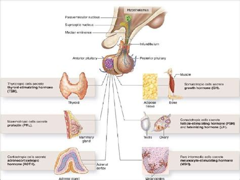 anterior pituitary gland picture 10