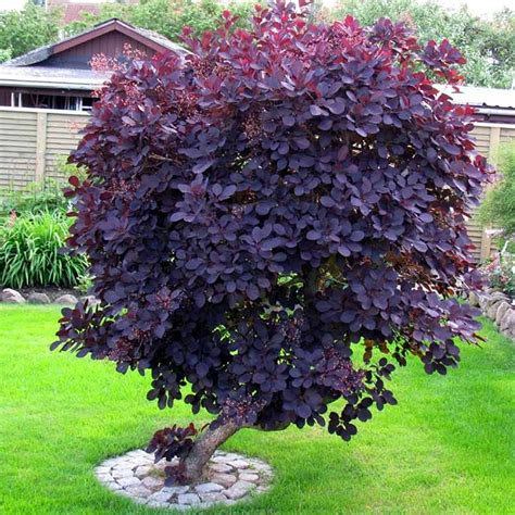 feeding smoke tree picture 2