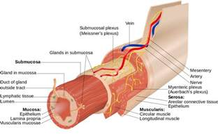 Absokrbtion in the gastrointestinal tract picture 9