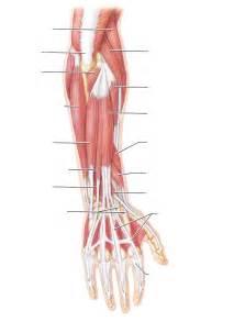 muscle tendon diagram picture 10