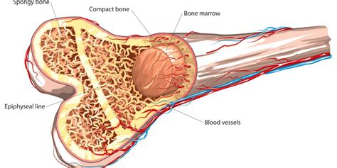 what is bone & bone marrow homeopathic used picture 10