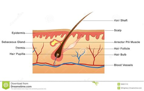 human liver diagram picture 2