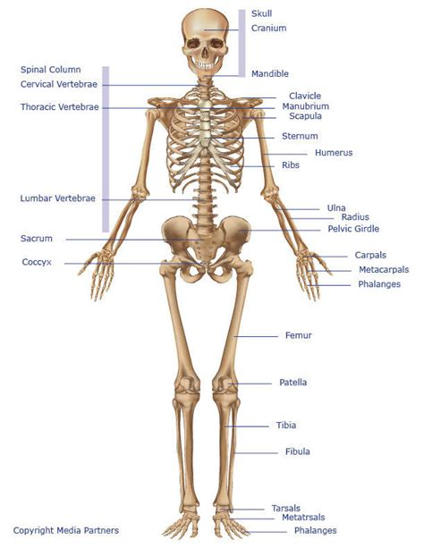 knee joints that picture 5