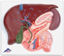 liver and gallblader anatomy picture 3