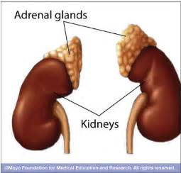 adrenal gland picture 6