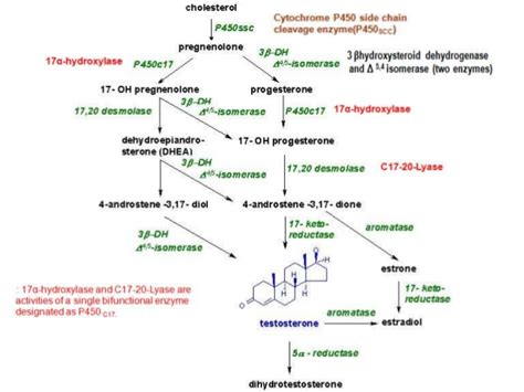 testosterone on muscle protein synthesis picture 3