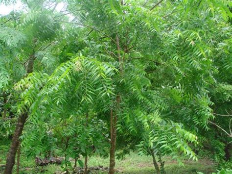 health benefit and use of sibucao tree picture 14