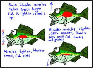 and swim bladder picture 2