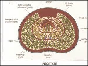 Prostate gland function picture 6