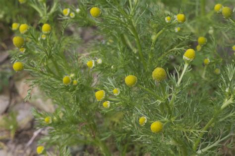herbal plants like weed picture 10