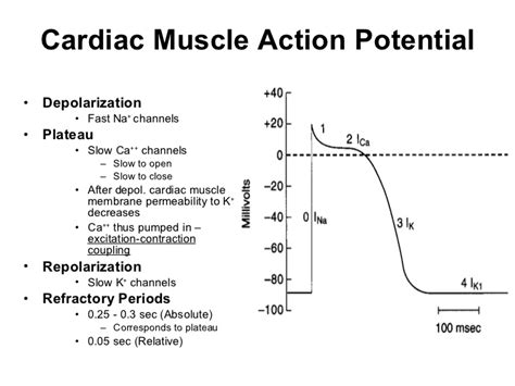 cardiac muscle as a syncytium picture 11