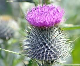 thistle flower picture 3