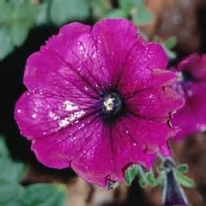 petunia fungus picture 3