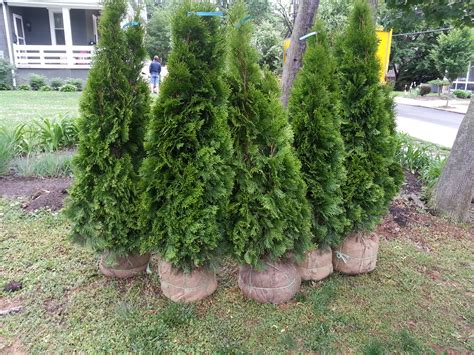 thuja cream westminster md picture 11