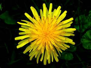 dandelion flower pictures picture 2