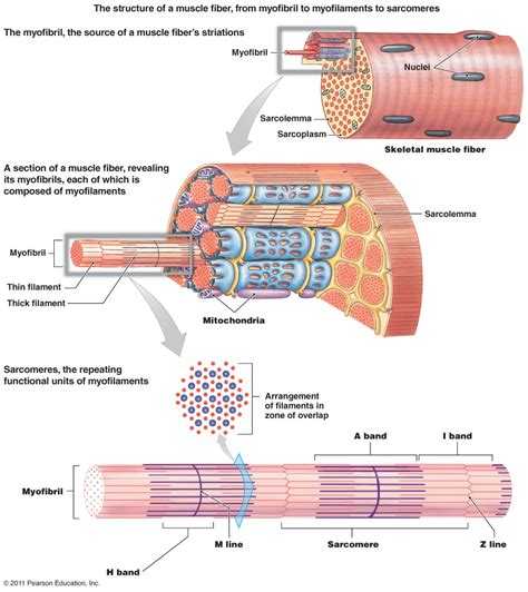 diagrams of skeletal muscle fiber picture 1