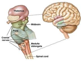 brain parts causing low testosterone picture 9