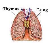 thymus gland picture 3
