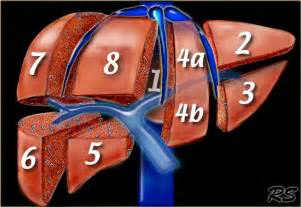 liver segmental anatomy diagram picture 3