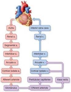 kidney above bladder picture 13