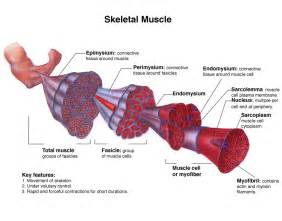 contraction in skeletal muscle tissue picture 9