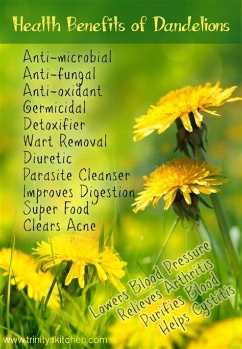 dandelion for health picture 3