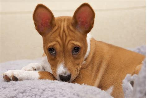 dog skin disease picture 3