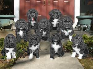 portuguese water dogs health picture 18