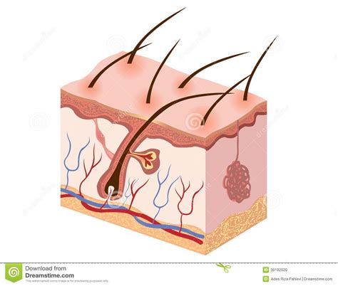 free illustrations of human skin picture 13