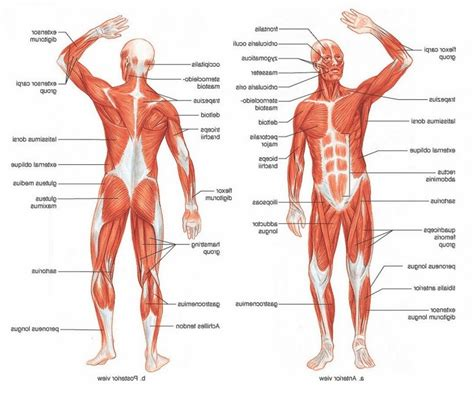 human muscle diagram picture 9
