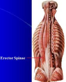 erector muscle group picture 5