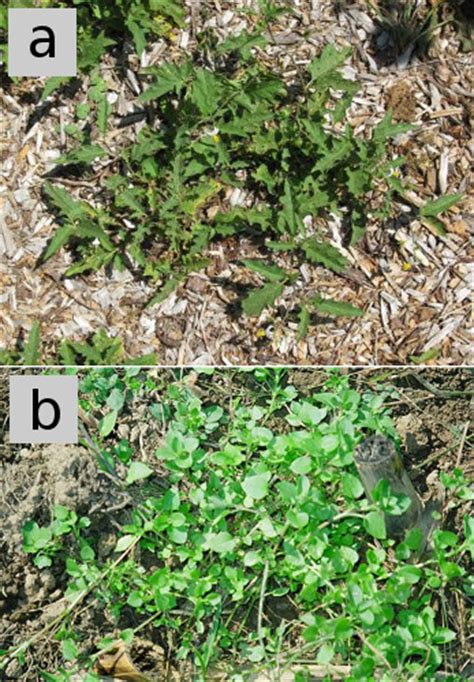 chickweed leaf picture 6