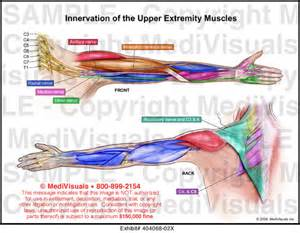 muscle innervations picture 1