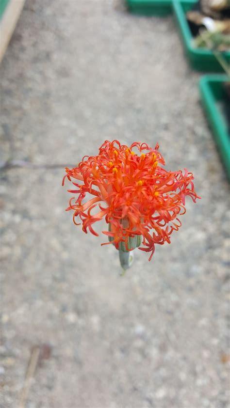 hoodia cactus picture 2