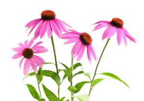 standard process sublingual echinacea picture 9