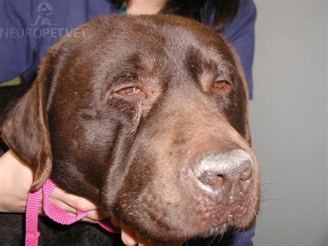 canine hypothyroidism picture 14