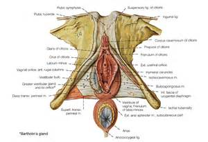penis in vagina diagrams picture 3