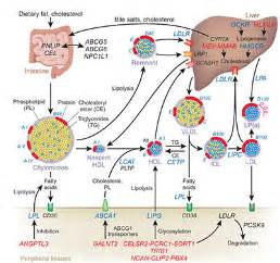 amino acids and ldl cholesterol picture 15