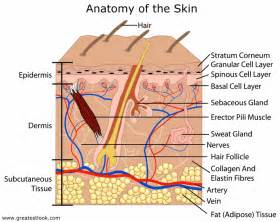 layers of skin picture 11