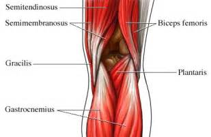 muscles around the knee joint picture 6