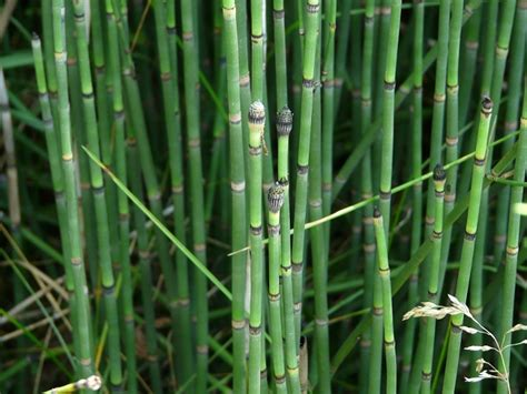 common characteristics in plant horsetails family picture 3