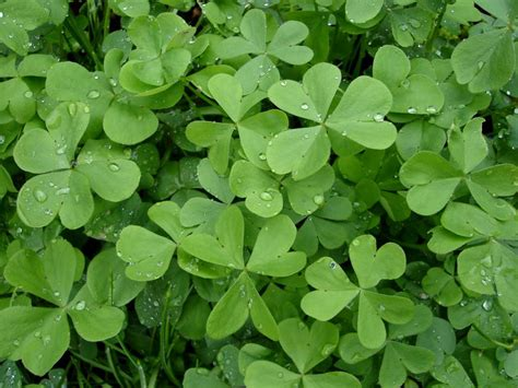 clover picture 7