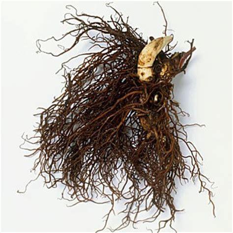 black cohosh root picture 2
