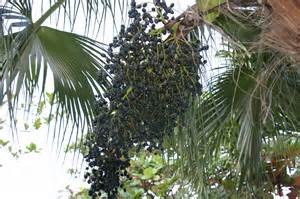 acai berry tree picture 3